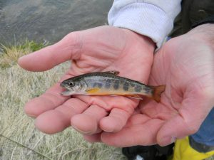 Baby Brook Trout (3)